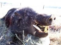 Big-Boar-